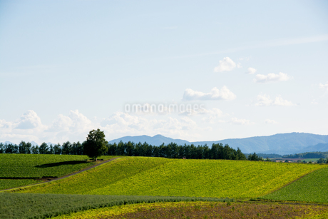 秋の畑に立つシラカバの木の写真素材 [FYI02987473]