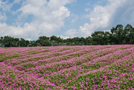 ペチュニアの花畑の写真素材 [FYI02987493]