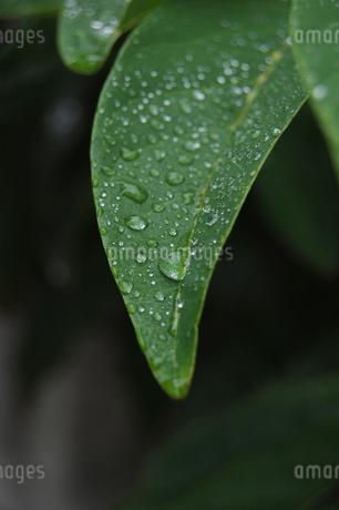 水滴が多く残る葉の写真素材 [FYI02987601]