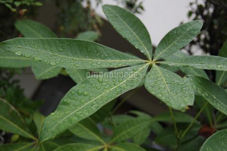 水滴が残る放射状に伸びた葉の写真素材 [FYI02987607]