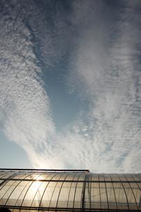 夕日でオレンジ色が透けるビニールハウスの写真素材 [FYI02987610]