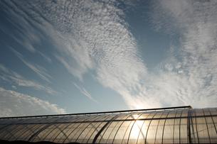 夕日でオレンジ色が透けるビニールハウスの写真素材 [FYI02987611]