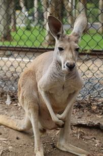kangarooの写真素材 [FYI02987904]
