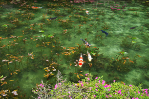 モネの池(名もなき池)の写真素材 [FYI02988097]