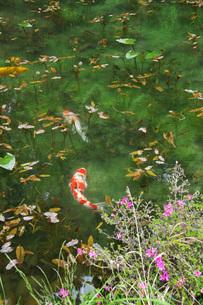 モネの池(名もなき池)の写真素材 [FYI02988102]
