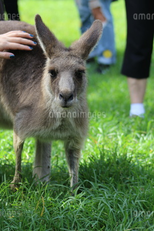 wallabyの写真素材 [FYI02988440]