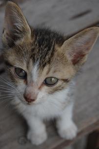じっとこちらを見つめる可愛い子猫の写真素材 [FYI02988459]