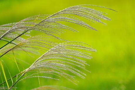 大きくアップで撮影したススキの穂の写真素材 [FYI02988544]