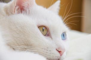 オッドアイの白猫の写真素材 [FYI02988545]