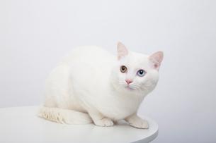 白猫の写真素材 [FYI02988546]