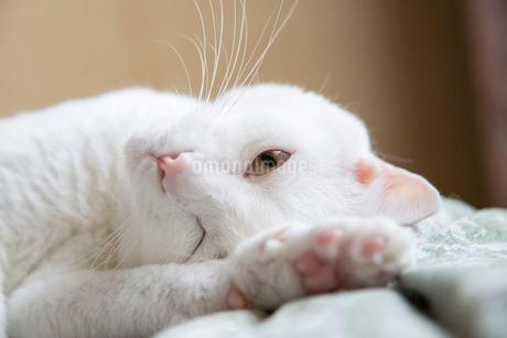 白猫の写真素材 [FYI02988548]