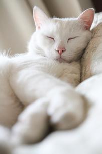 白猫の写真素材 [FYI02988551]