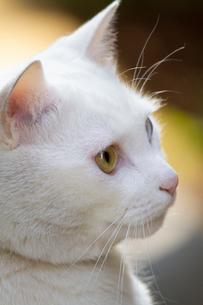 白猫の写真素材 [FYI02988557]