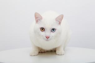 白猫の写真素材 [FYI02988558]