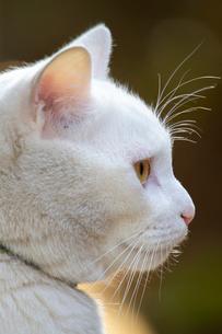 白猫の写真素材 [FYI02988559]