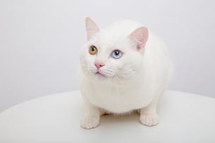 白猫の写真素材 [FYI02988560]