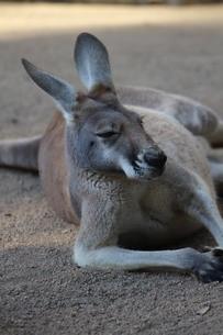 lazy kangarooの写真素材 [FYI02988570]