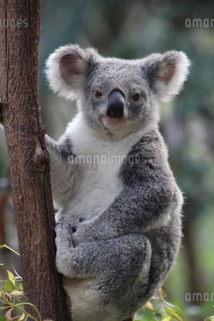 koalaの写真素材 [FYI02988571]