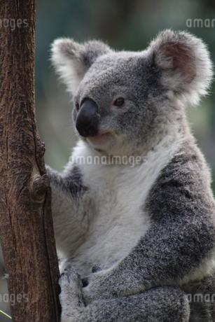 Face away koalaの写真素材 [FYI02988573]