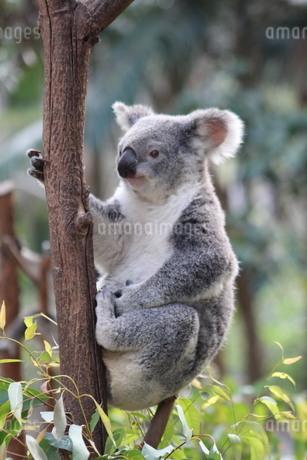 Clinging Koalaの写真素材 [FYI02988574]