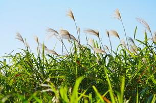 青空を背景に風に揺れるススキの写真素材 [FYI02988586]