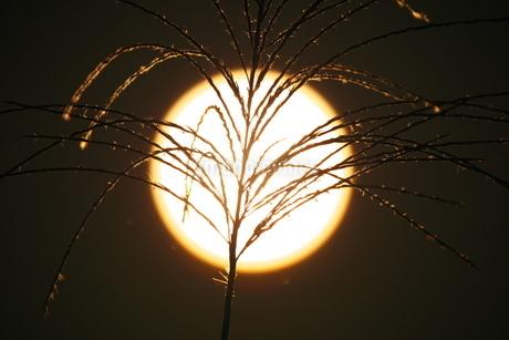 夕陽と重なったススキの穂の写真素材 [FYI02988590]