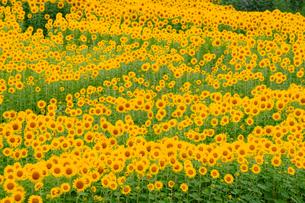 向日葵の写真素材 [FYI02988850]