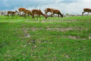 鹿の群れの写真素材 [FYI02988947]