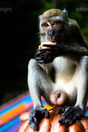 サルの写真素材 [FYI02989121]