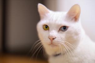 白猫の写真素材 [FYI02989167]