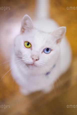 白猫の写真素材 [FYI02989175]