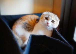三毛猫の写真素材 [FYI02989199]