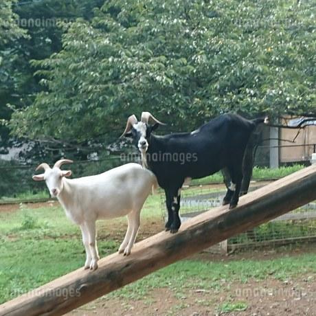 白山羊と黒山羊の写真素材 [FYI02989284]