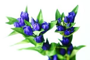 早咲きのリンドウの花の写真素材 [FYI02989289]