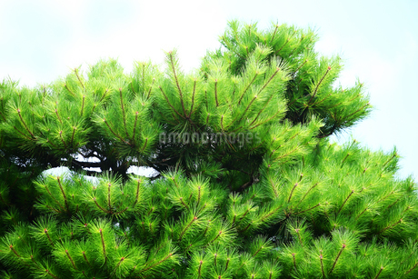 夏空に赤松の若葉が繁るの写真素材 [FYI02989292]   ストックフォトの ...