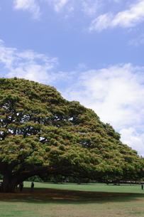 ハワイの木の写真素材 [FYI02989370]