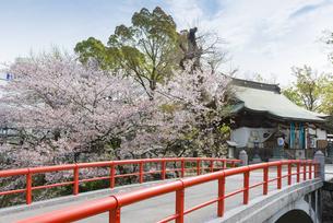 松戸神社の桜の写真素材 [FYI02989648]