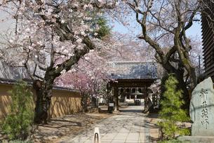 新井薬師の桜の写真素材 [FYI02989672]