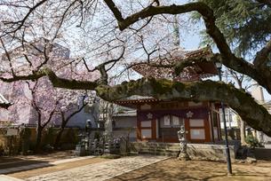 新井薬師の桜の写真素材 [FYI02989676]
