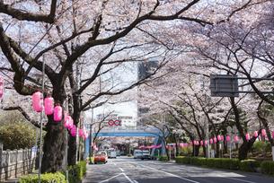 中野通りの桜の写真素材 [FYI02989679]