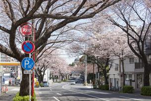 中野通りの桜の写真素材 [FYI02989683]
