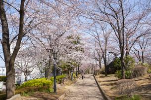 川口西公園リリアパークの桜の写真素材 [FYI02989690]