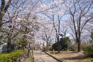 川口西公園リリアパークの桜の写真素材 [FYI02989694]