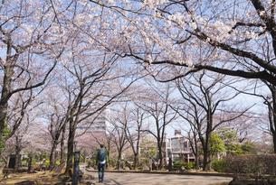 川口西公園リリアパークの桜の写真素材 [FYI02989699]