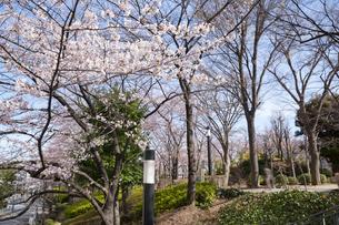 川口西公園リリアパークの桜の写真素材 [FYI02989701]