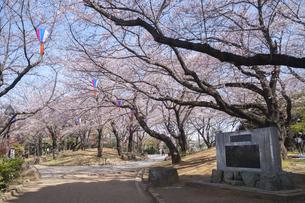 飛鳥山公園の桜の写真素材 [FYI02989716]