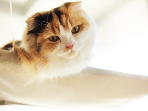 三毛猫の写真素材 [FYI02989751]