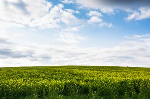 ナノハナ畑の写真素材 [FYI02989792]