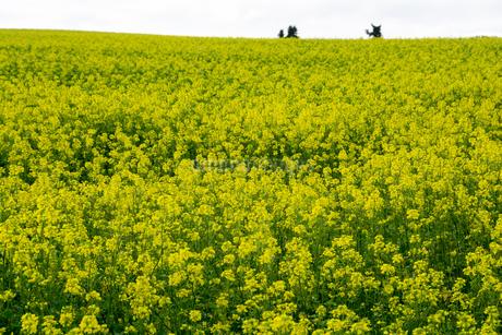 ナノハナ畑の写真素材 [FYI02989793]