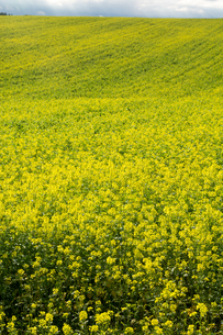 ナノハナ畑の写真素材 [FYI02989794]